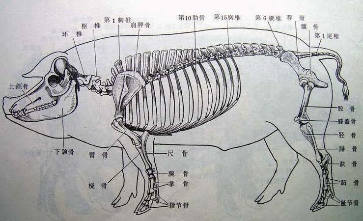 Pig-Bone