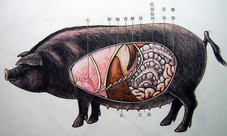 Pig-Organ-Left